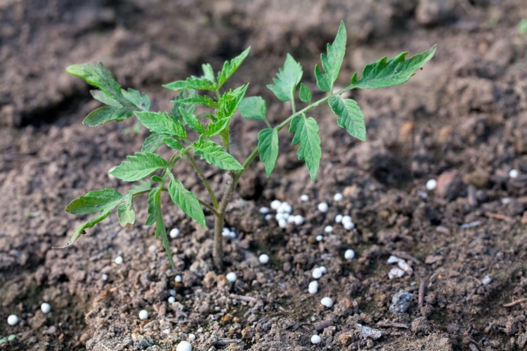 Нитрофоска для помидоров