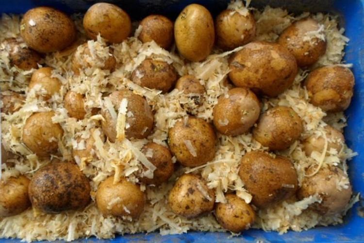 Проращивание картошки в опилках