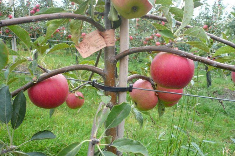 подпорка колоновидным яблоням