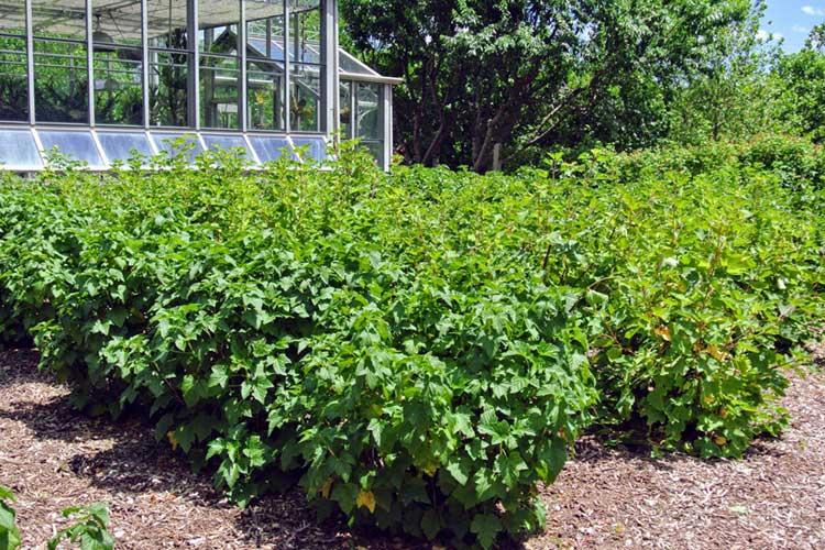 посадки смородины