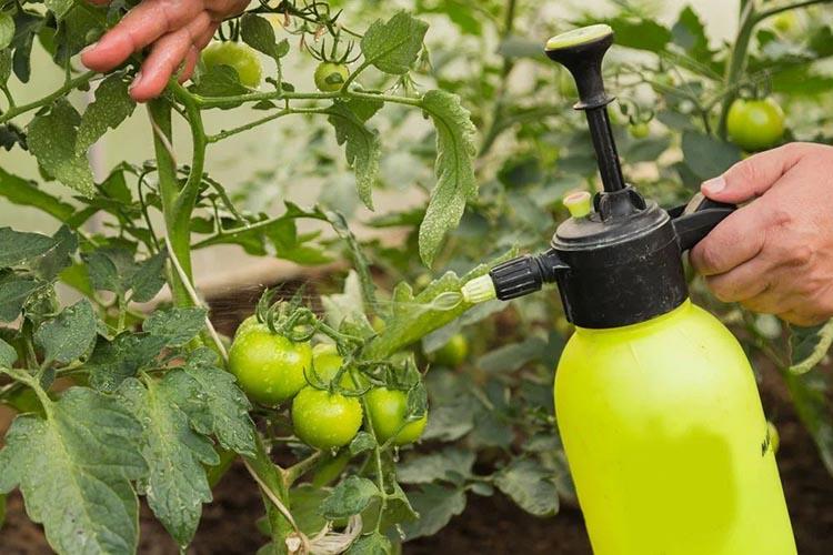 Опрыскивание томатов