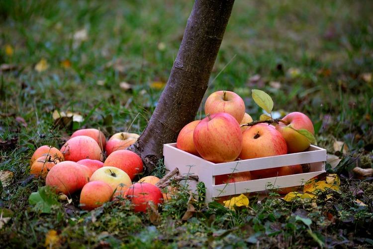 собранные яблоки