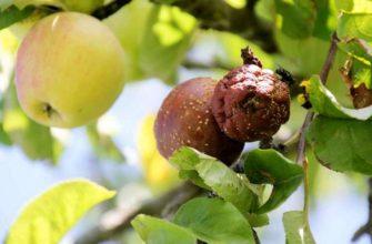 мумификация яблок и груш