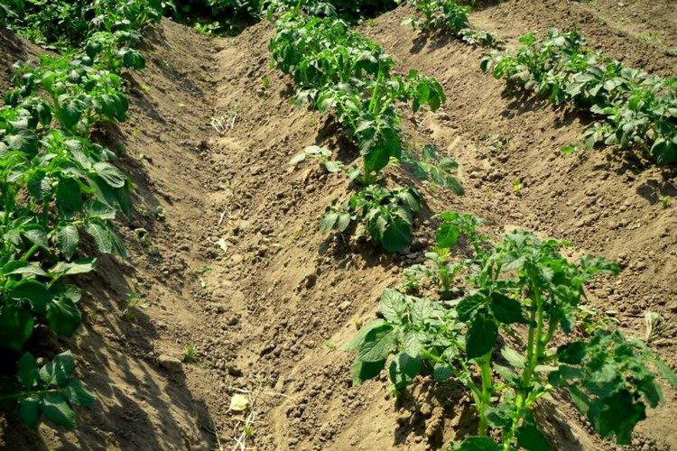 окученная картошка