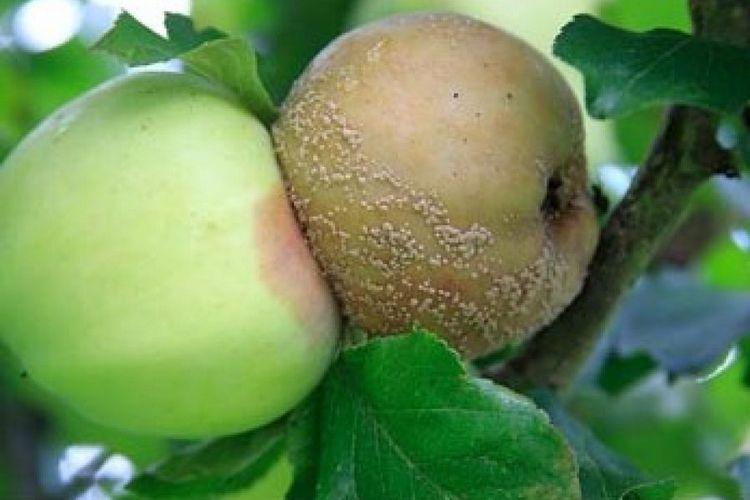поражение фруктов