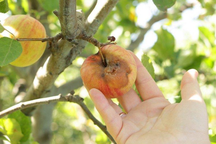 причины гниения яблок