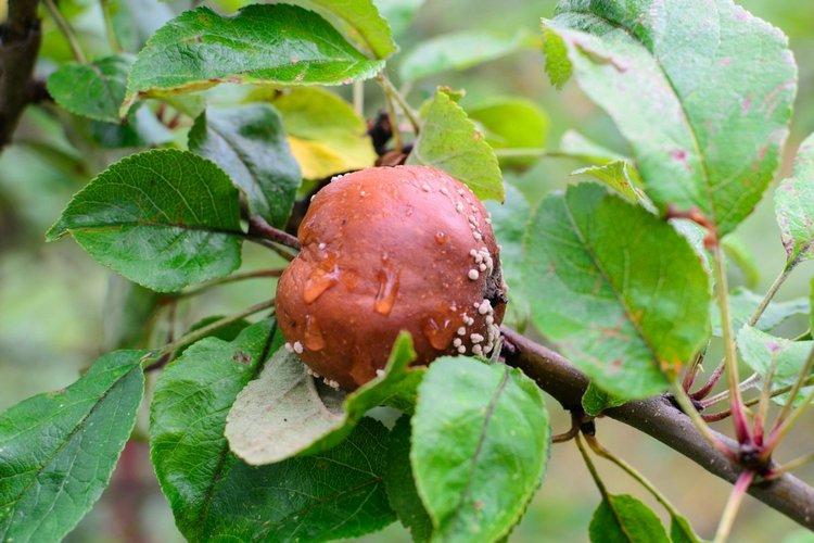 на ветке пропадают недозревшие плоды