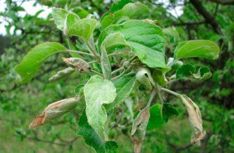 Почему на яблоне и груше скручиваются листья