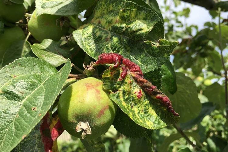 Красногалловая тля на яблоне