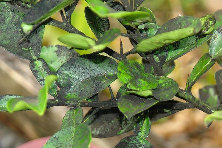Грибковые болезни на груше
