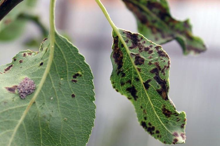 Вирусные болезни на груше