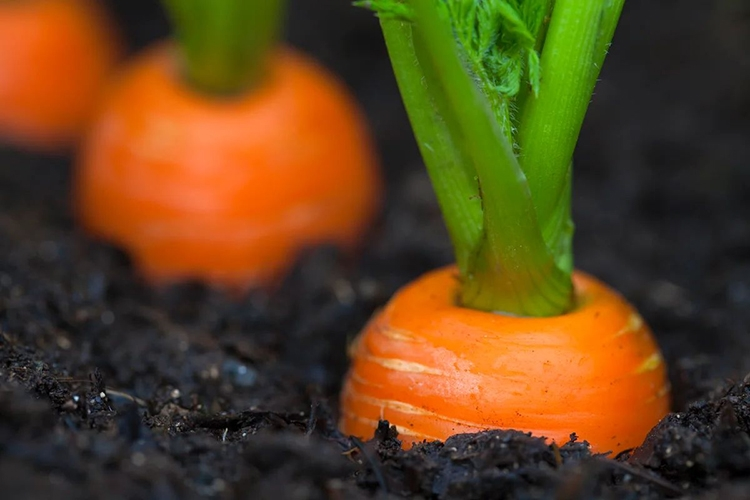 Характеристика сорта моркови Нантская
