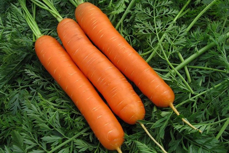 Плоды моркови Нантская