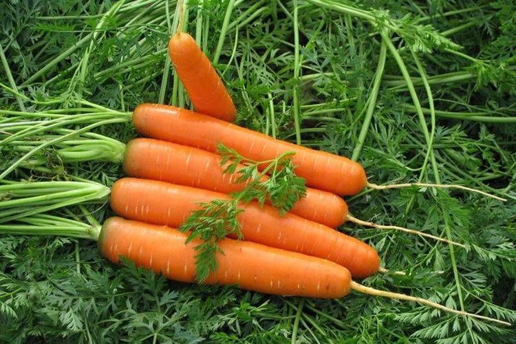 Достоинства и недостатки моркови Нантская