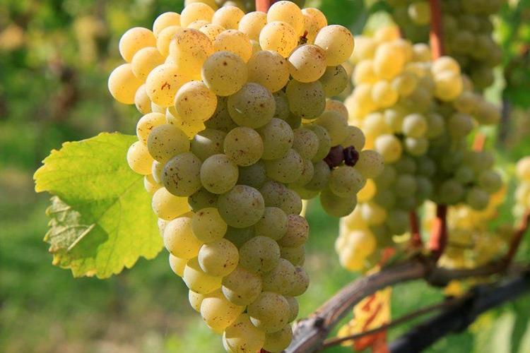 Виноград Совиньон Блан