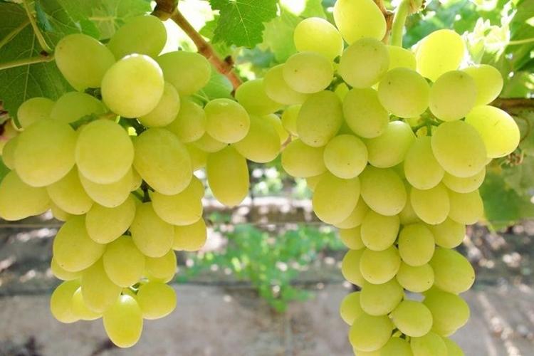 Виноград Белое чудо
