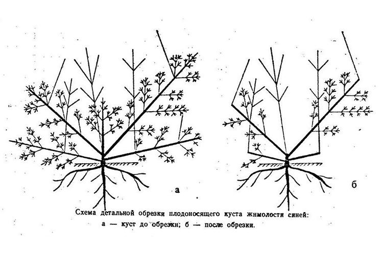 Осенняя обрезка жимолости - схема