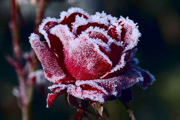 Морозостойкие сорта роз