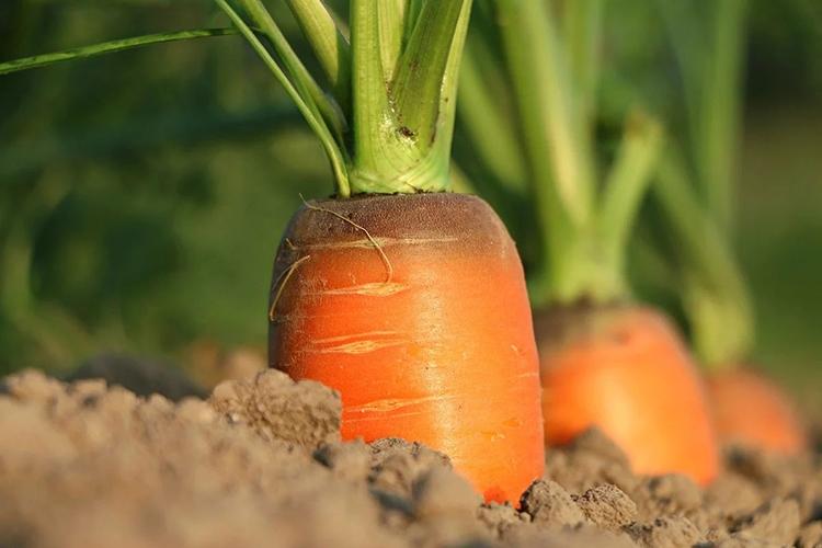 Лучшие сорта моркови для открытого грунта