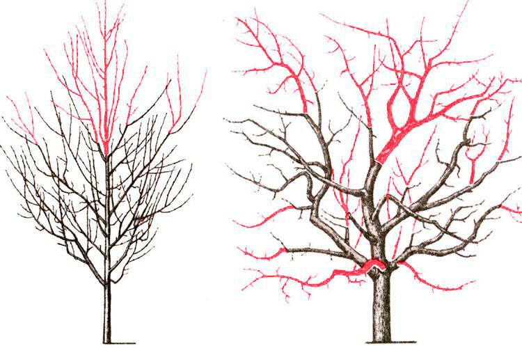 омоложение дерева