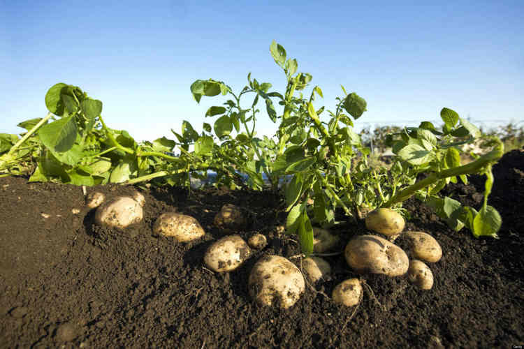 ка сажать картошку по весне