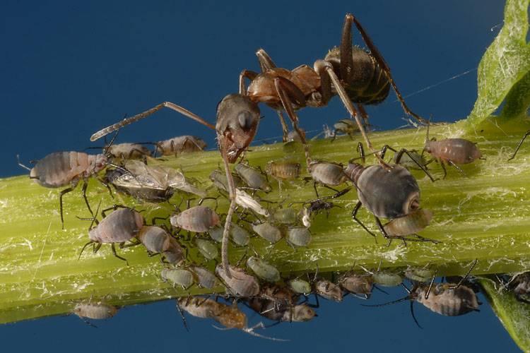 как уничтожить муравьев на грядках