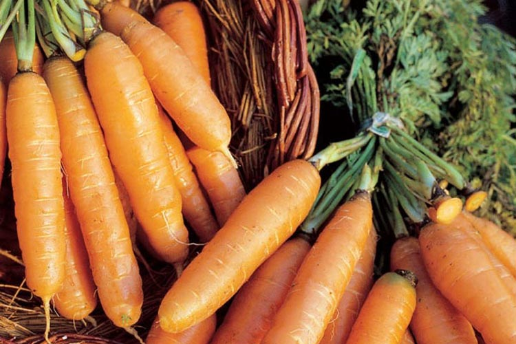 Морковь Амстердамская - характеристики сорта
