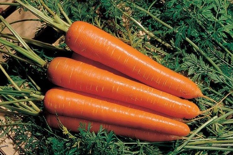 Морковь Амстердамская: достоинсва сорта