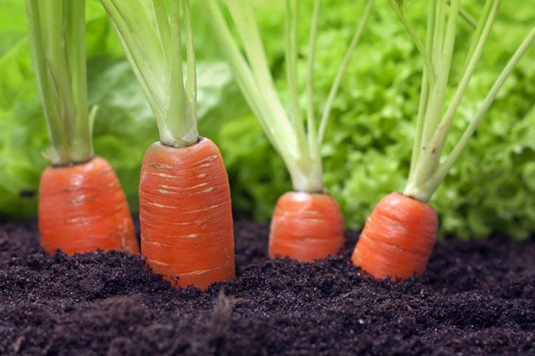 Морковь Амстердамская на грядке