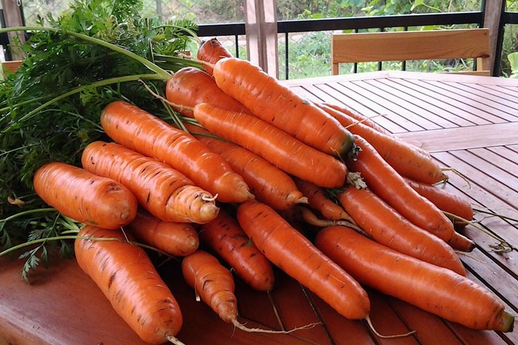 Урожай моркови Тушон