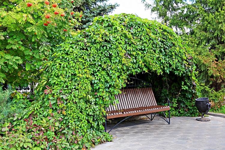 украшение зоны отдыха диким виноградом