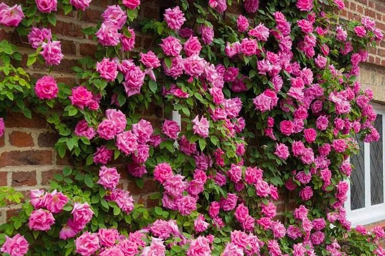 плетение роз по стенам