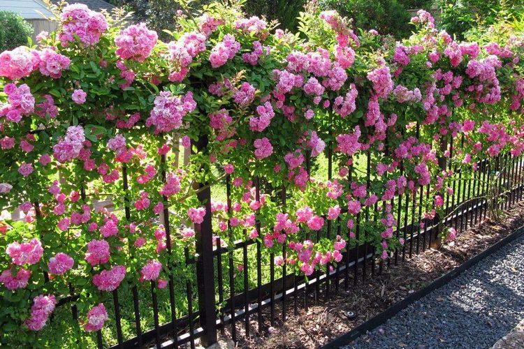 декорирование забора розами