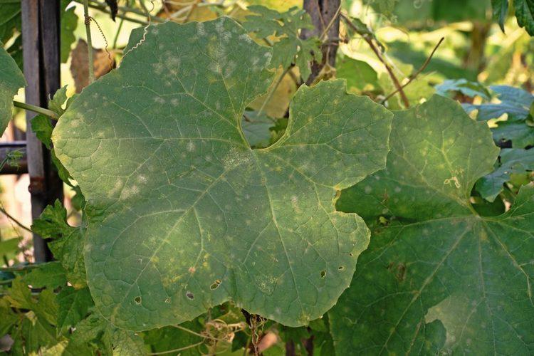 непонятные светлые точки на огуречной листве
