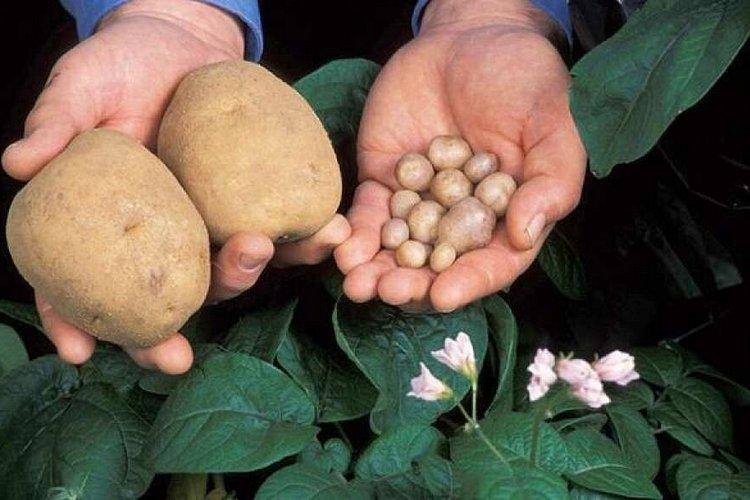 почему картошка вырастает всегда мелкая
