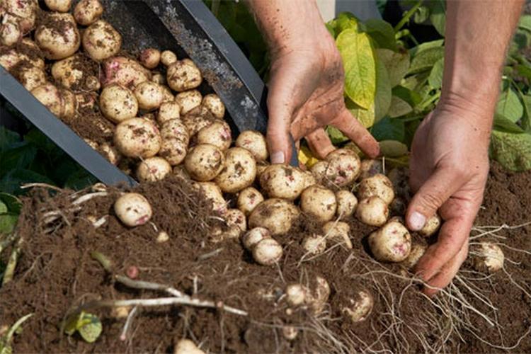 почему получаются небольшие картофелины