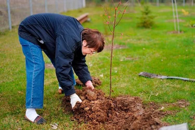 сроки посадки плодовых деревьев осенью