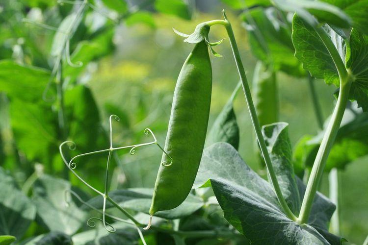 посев зеленого горошка в сентябре